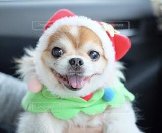 帽子をかぶって、小さな茶色と白犬の写真・画像素材[1665916]