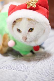 赤と白の帽子をかぶって猫の写真・画像素材[1665920]
