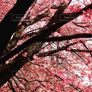 満開の桜の写真・画像素材[1166778]