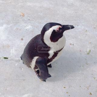 ついて来るペンギンの写真・画像素材[1012590]
