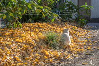 紅葉した落ち葉の上で日向ぼっこする猫の後ろ姿の写真・画像素材[4022961]