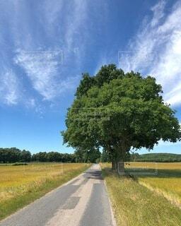 デンマークの島ランゲランの道と道端に立つ大きな木の写真・画像素材[4036404]