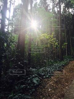 フォレスト内のツリーの写真・画像素材[996356]