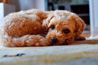 まったりしてる犬の写真・画像素材[1568897]