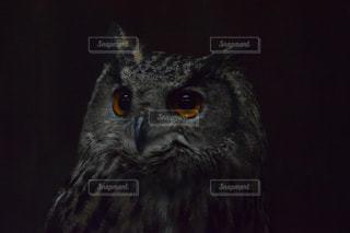 フクロウの写真・画像素材[993966]