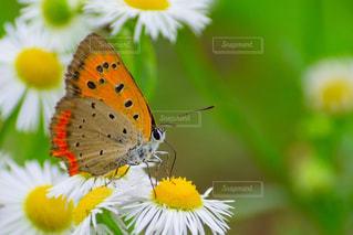 蝶の写真・画像素材[994033]