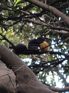 木の枝に座っているリス みかんを食べるリスの写真・画像素材[994503]