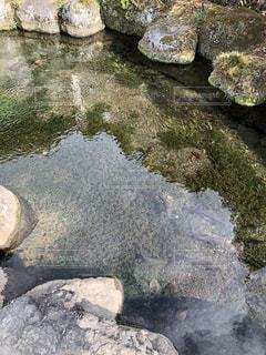 忍野八海ニジマスの写真・画像素材[1095687]