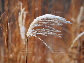雪とススキの写真・画像素材[998400]