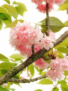 桜の花の写真・画像素材[1000700]