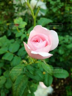 咲き始めのピンクのバラの写真・画像素材[1007307]