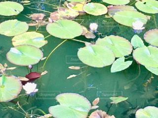 岐阜のモネの池の写真・画像素材[1372168]