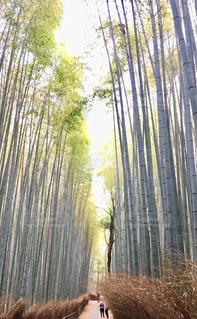 京都の嵯峨野の竹林の写真・画像素材[1387129]