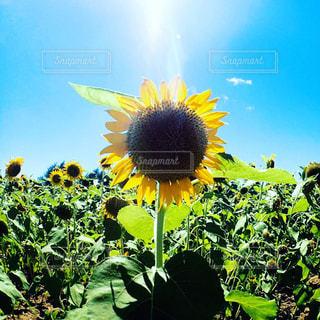 黄色の花の写真・画像素材[997192]