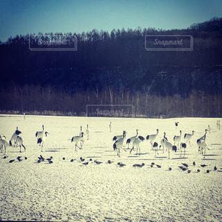 雪上のタンチョウの写真・画像素材[1032091]