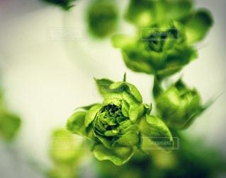 緑色の花の写真・画像素材[997568]