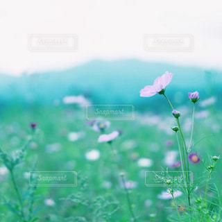 ぱすてる秋桜 - No.1000335