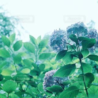 紫陽花 - No.1000336