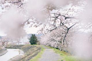桜トンネルの写真・画像素材[1018335]