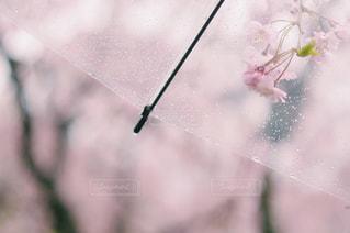 桜雨の写真・画像素材[1018339]