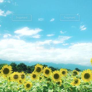 フィールド内の黄色の花の写真・画像素材[1410189]
