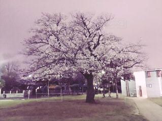 夜桜の写真・画像素材[998412]