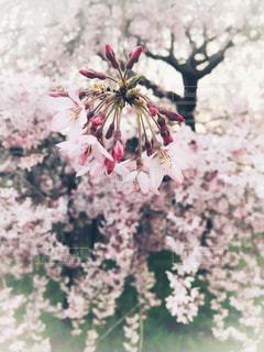 枝垂れ桜の写真・画像素材[1093840]