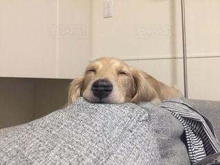 ソファーの上で眠るわんこ - No.998812