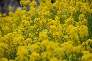菜の花の写真・画像素材[998840]