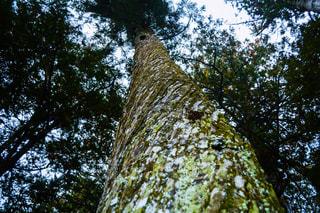 フォレスト内のツリーの写真・画像素材[1006009]