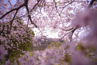 桜の写真・画像素材[2082873]