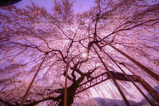 枝垂れ桜の写真・画像素材[2142959]