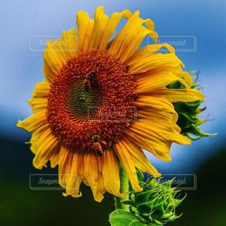 黄色い花の写真・画像素材[2282602]