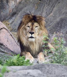 岩の上に座っているライオンの写真・画像素材[4534931]