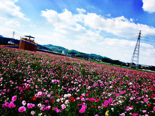 コスモス畑 - No.1002557