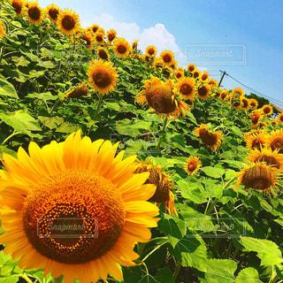 ひまわり畑の写真・画像素材[1004036]