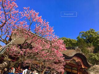 太宰府天満宮の梅の写真・画像素材[1008392]