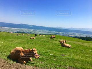 阿蘇の牛たちの写真・画像素材[1220503]