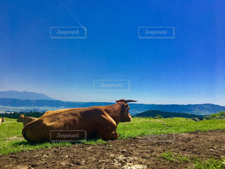 阿蘇の牛の写真・画像素材[1220504]