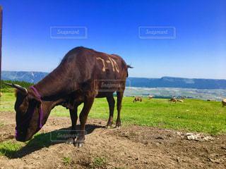 阿蘇の牛の写真・画像素材[1220505]