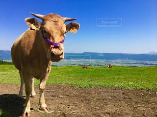 阿蘇の牛の写真・画像素材[1220564]