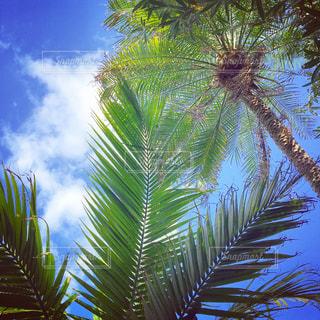 ヤシの木の写真・画像素材[1021942]