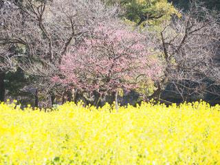 フィールド内の黄色の花の写真・画像素材[1002552]
