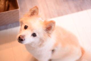 見つめる犬の写真・画像素材[1002703]