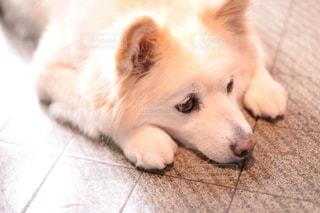 伏せをしている犬の写真・画像素材[1002704]