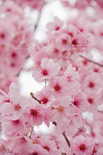 桜の写真・画像素材[1003360]