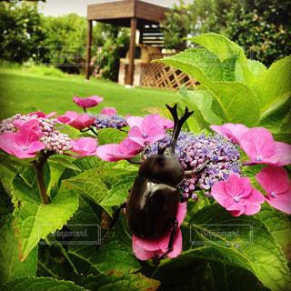 紫陽花とカブトムシ。 - No.1003072