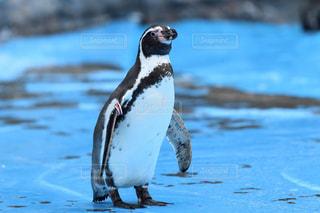 ペンギンの写真・画像素材[1018471]