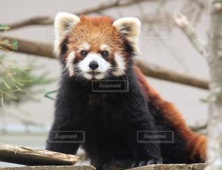 レッサーパンダの写真・画像素材[1121236]