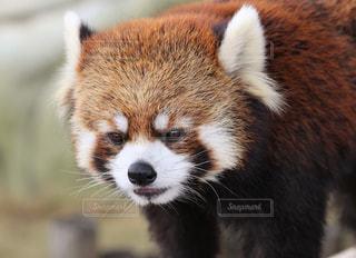 レッサーパンダの写真・画像素材[1158175]